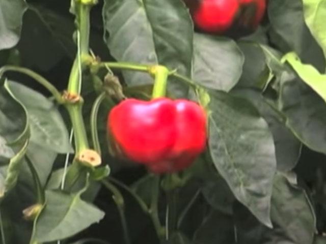 Red Sun Farms Hydroponic Process